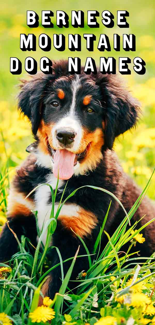Bernese Mountain Dog Names Perfect For Your Big Fluffy Dog