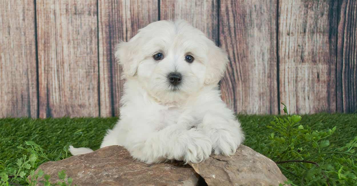 miniature poodle mixes