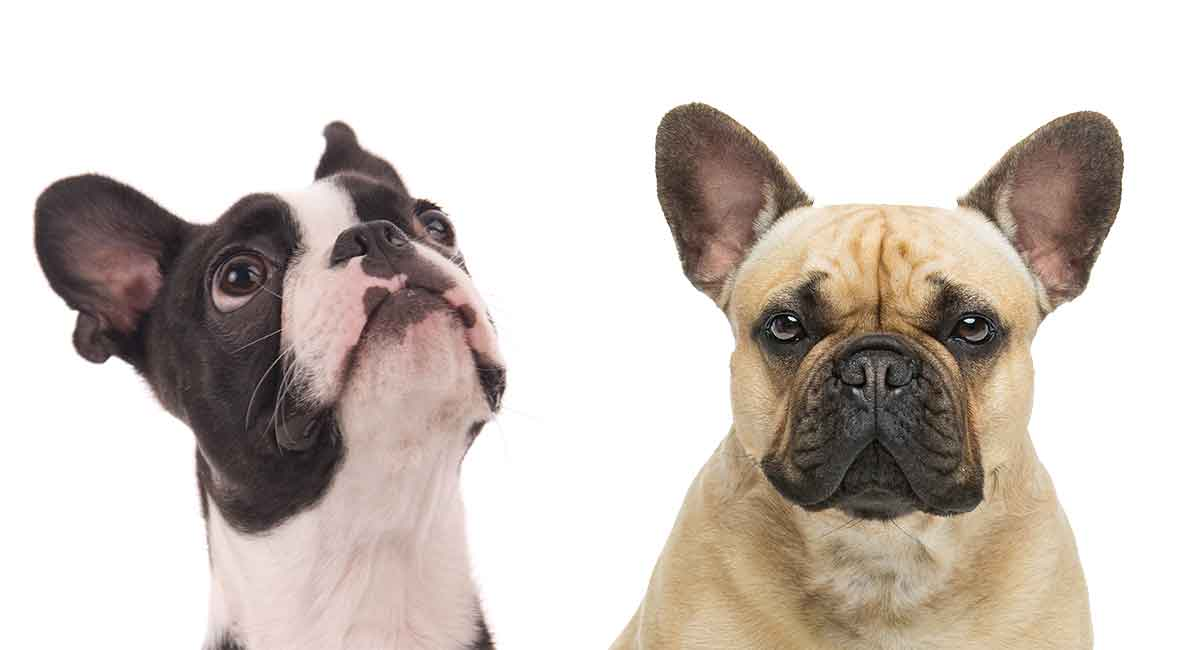 boston terrier and french bulldog boston terrier french bulldog mix 2027