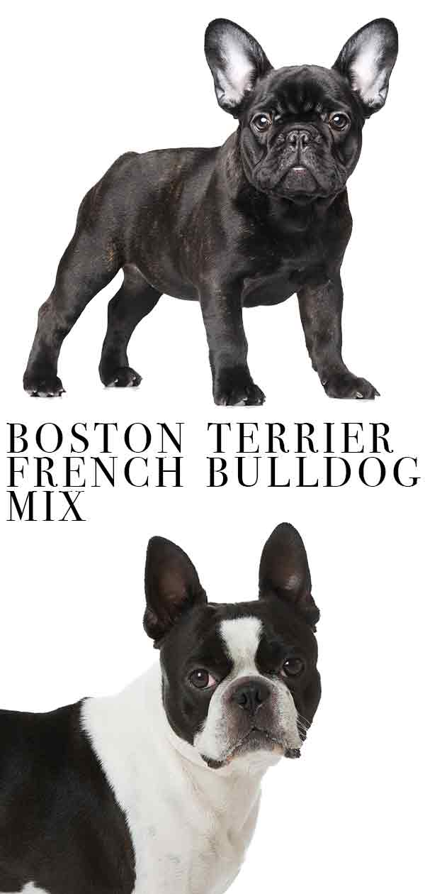 boston terrier french bulldog mix