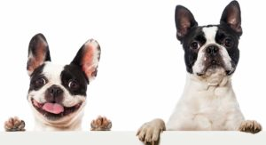 Boston Terrier vs French Bulldog – Can You Spot The Differences?
