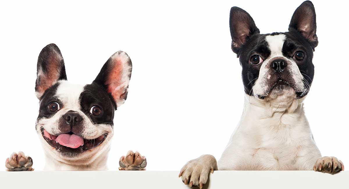 boston terrier and french bulldog boston terrier vs french bulldog can you spot the 6080