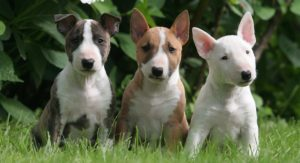 List of popular Bull Terrier names