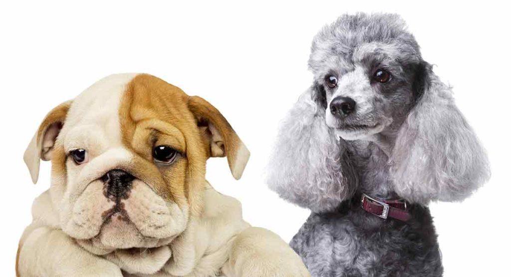 bulldog poodle mix