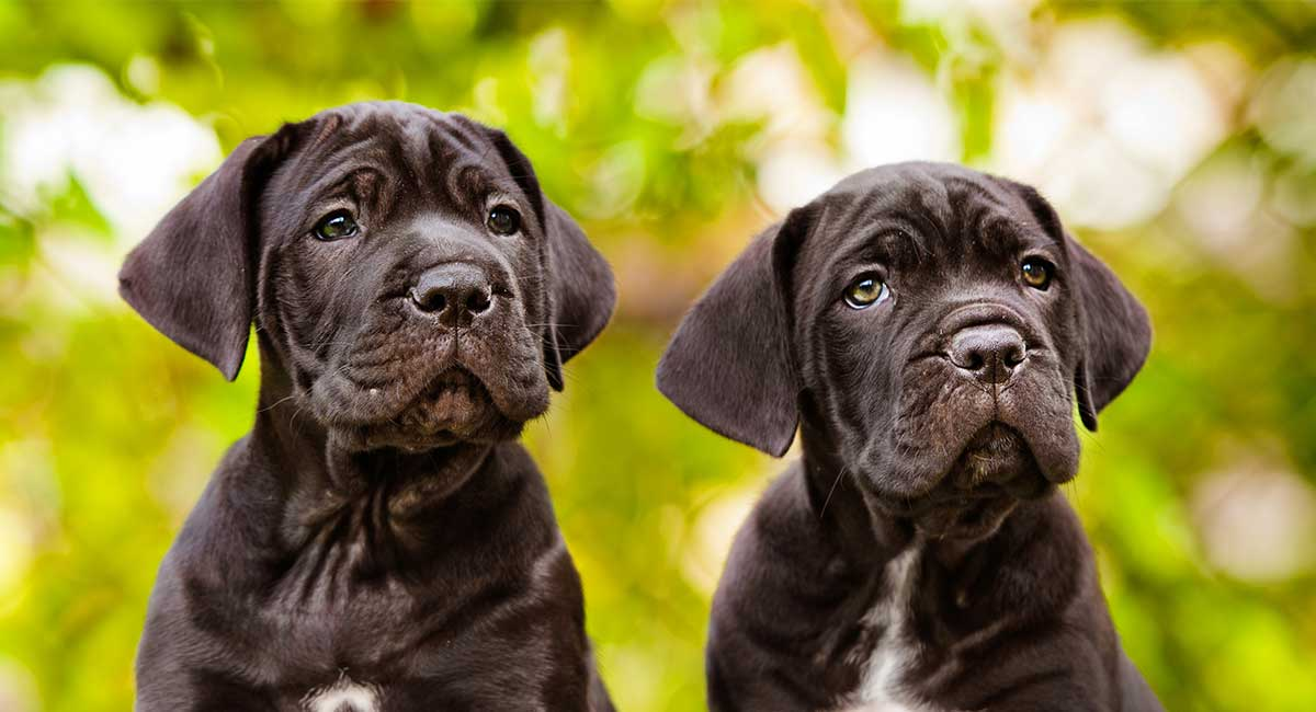 Cane Corso Dog Names Dozens Of Awesome Ideas