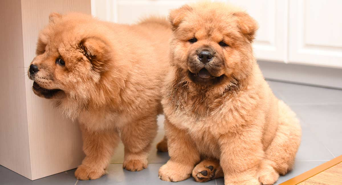 Chow Chow Names - Over 100 Magnificent