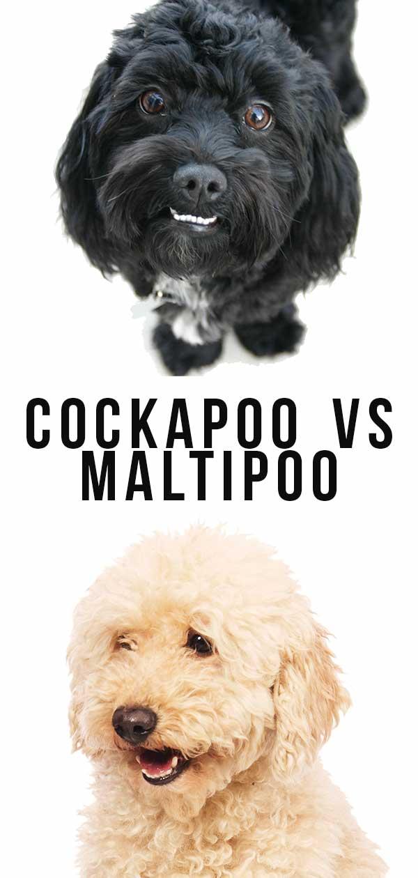 cockapoo vs maltipoo