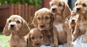 Cocker Spaniel names