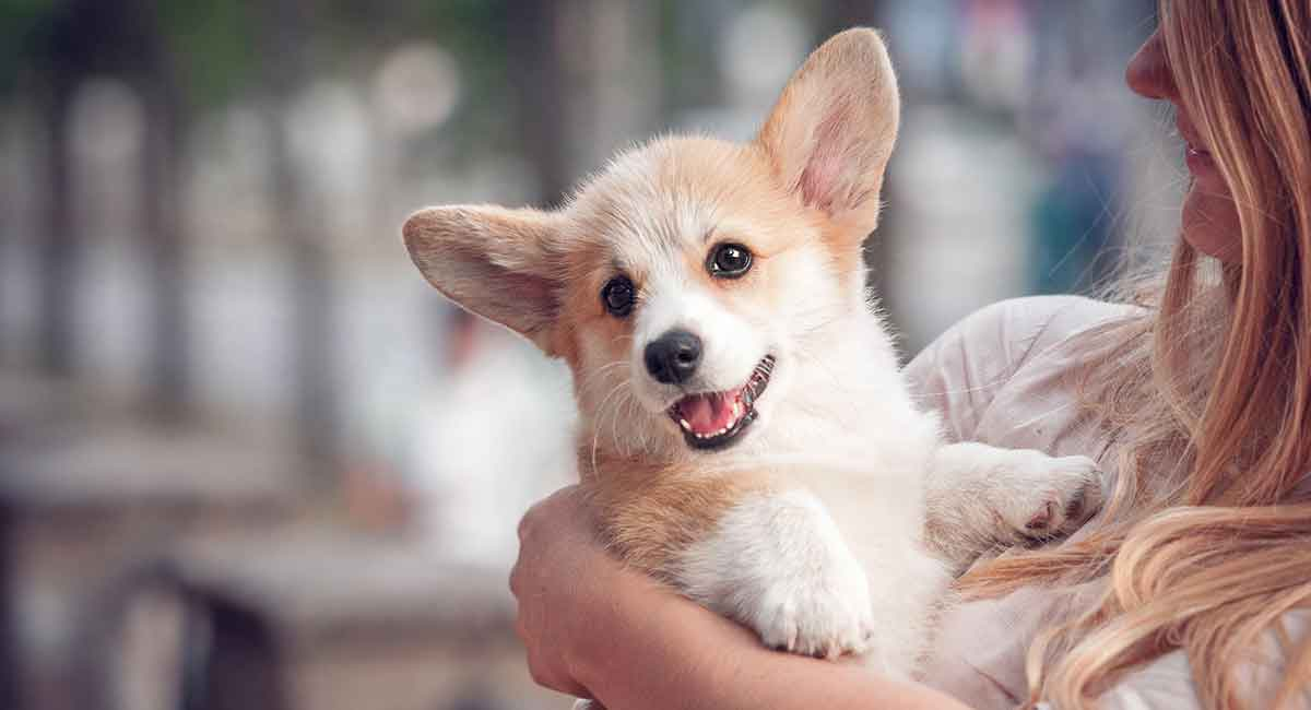 Mini Corgi Puppies For Sale >> Miniature Corgi Can Your Favorite Dog Come In An Even Tinier Package