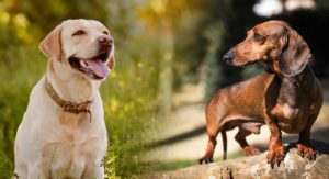 Dachshund Labrador Mix – Is This Contrasting Cross Right For You?