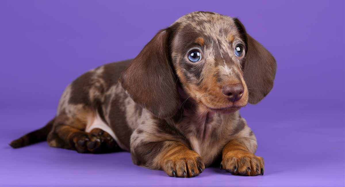 Dle Dachshund Not Just A Pretty