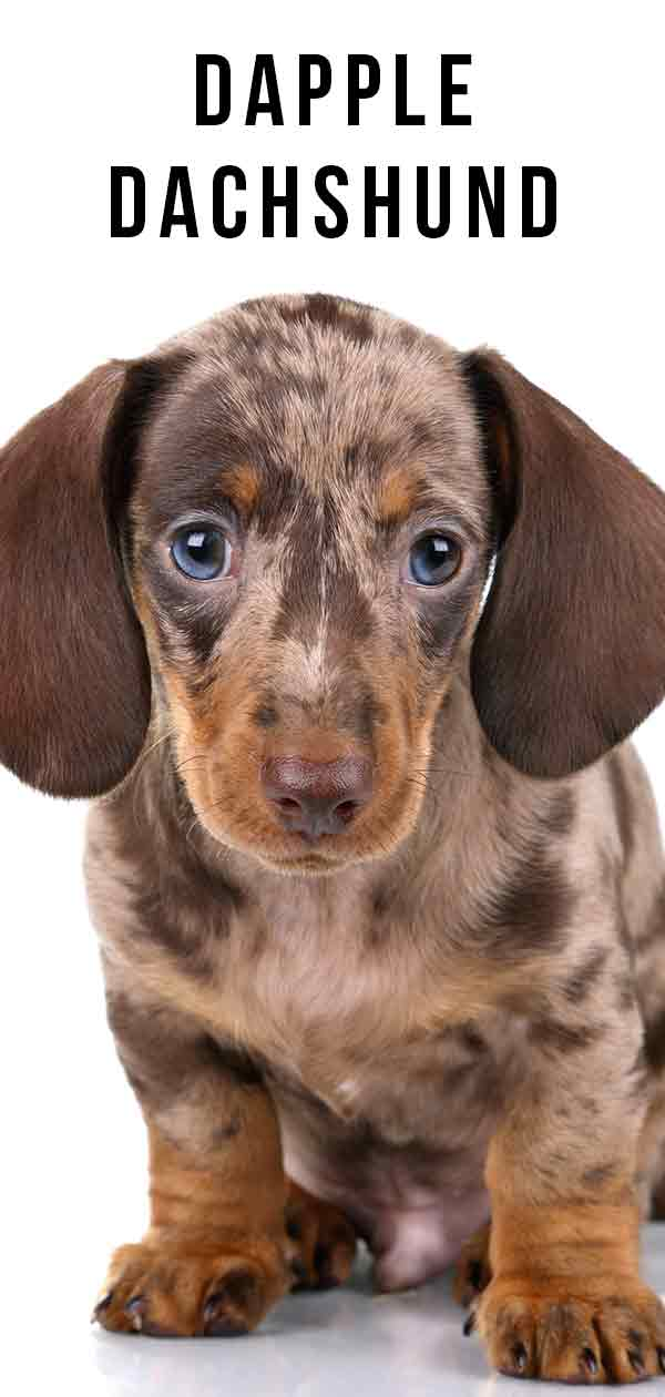 Dapple Dachshund – Not Just A Pretty Coat Color
