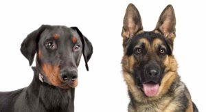 Doberman vs German Shepherd – Which Guard Dog Makes A Better Pet?