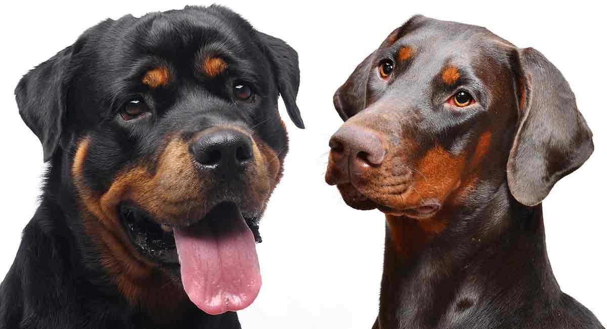 Doberman Vs Rottweiler Similar Looks But Different