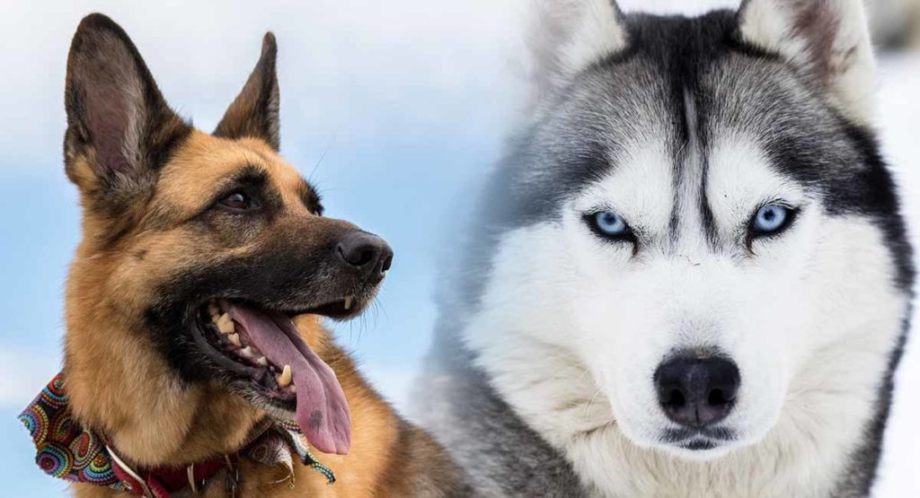 German Shepherd Vs Husky - Which Breed Makes A Better Pet
