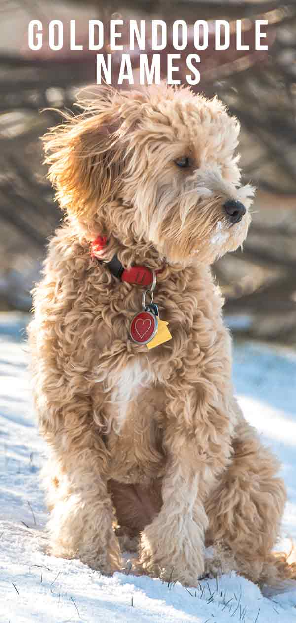 Goldendoodle Names - Find The Perfect Title For Your Cute Doodle