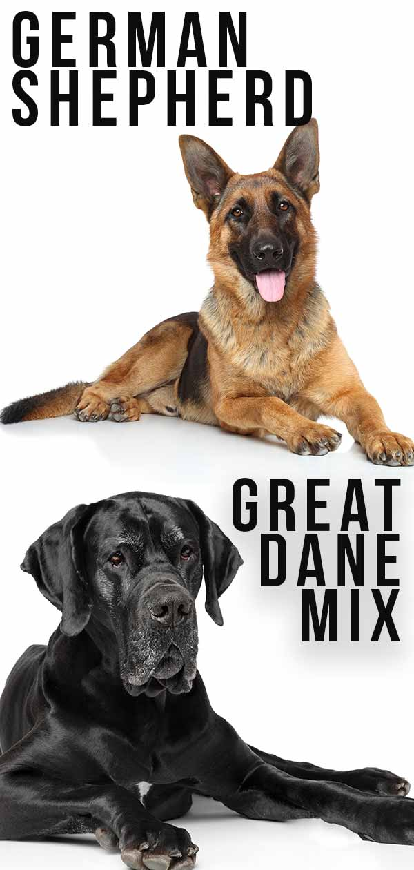 great dane german shepherd mix