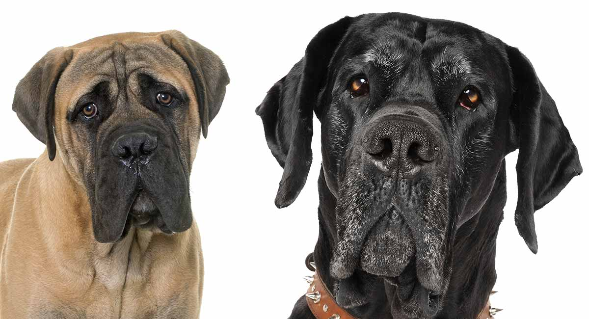 Great Dane Mastiff mix dogs!
