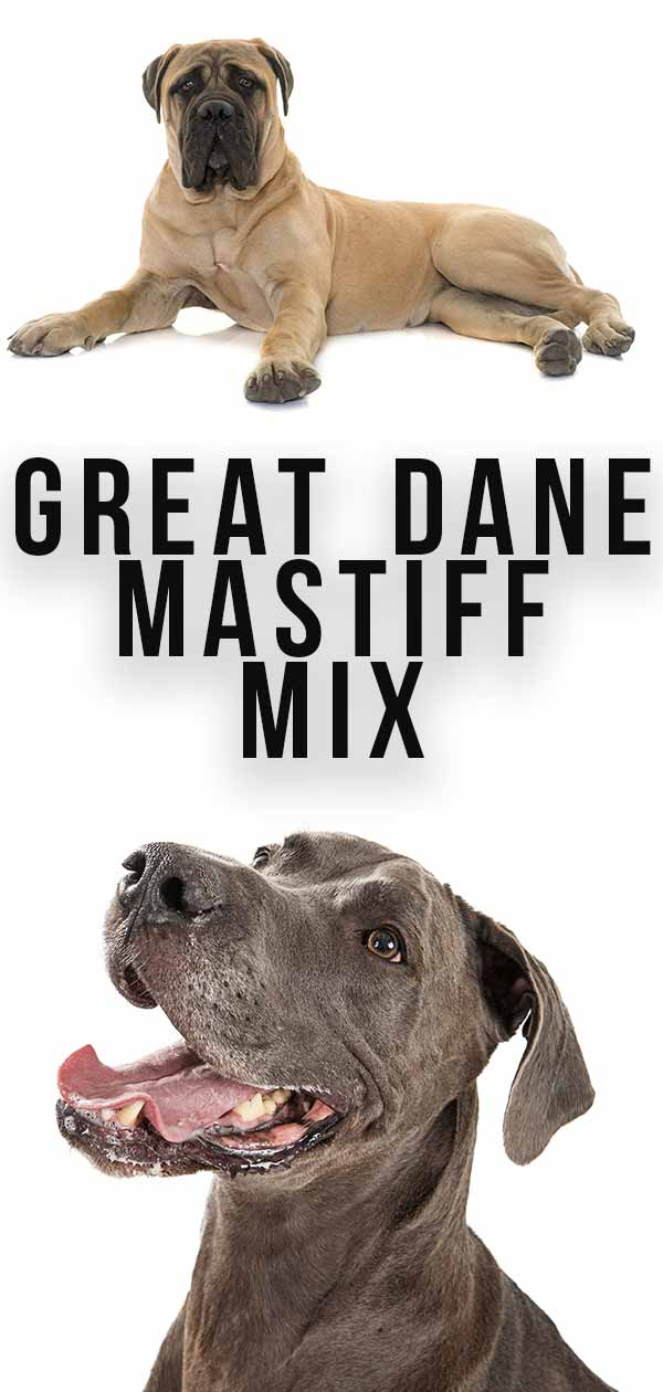 Learn about the Daniff mix