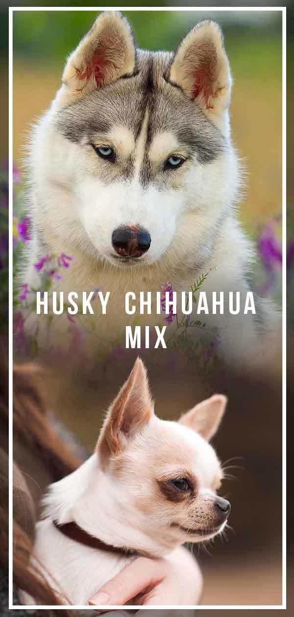 husky chihuahua mix