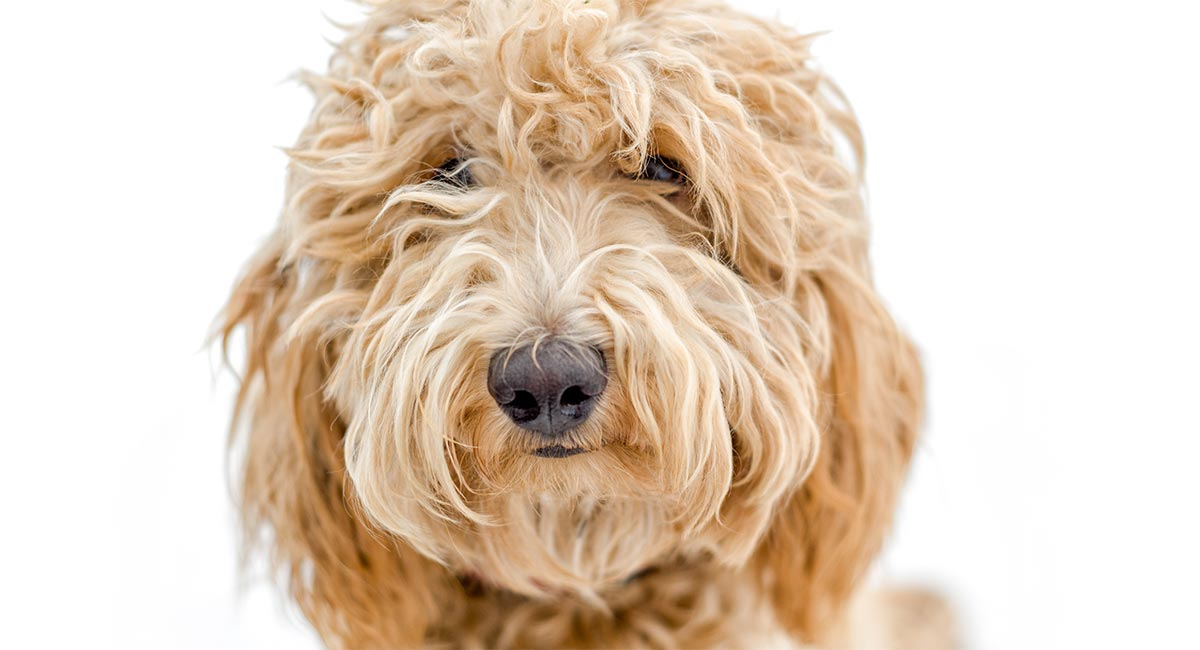 Labradoodle Names For Your Cute Curly