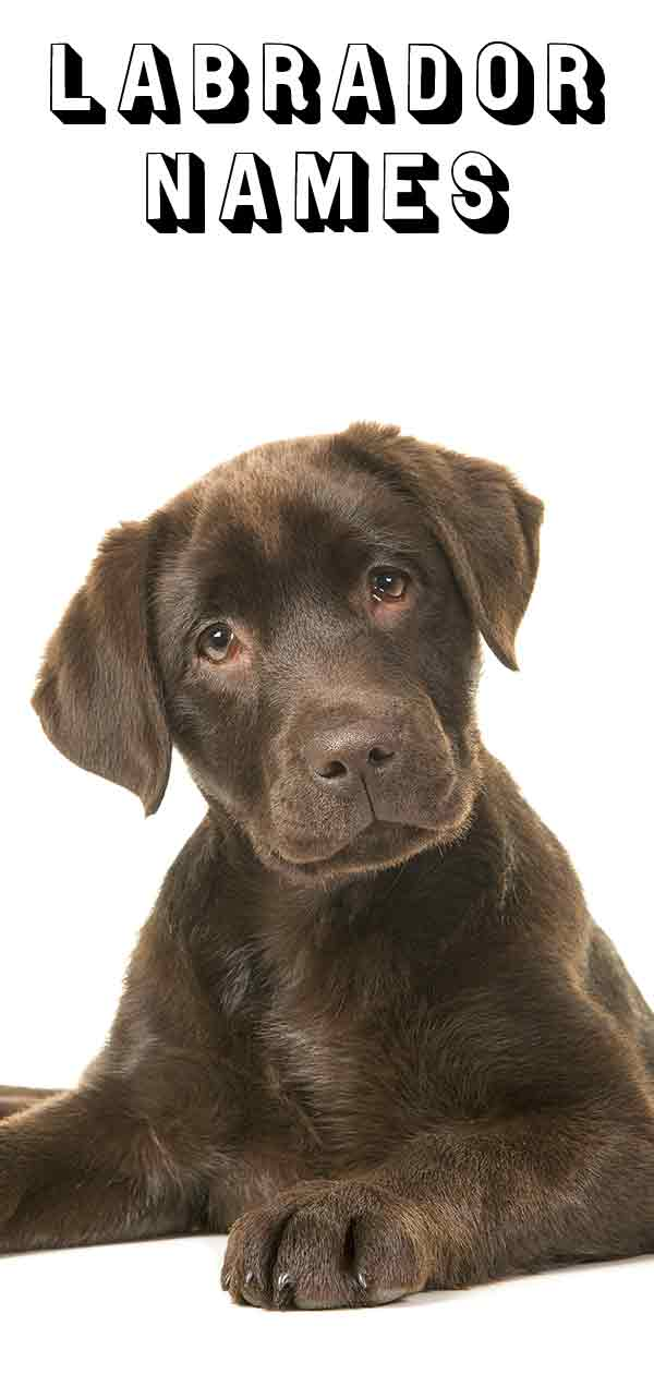 Hundreds Of Labrador Names - Which Suits Your Dog Best?
