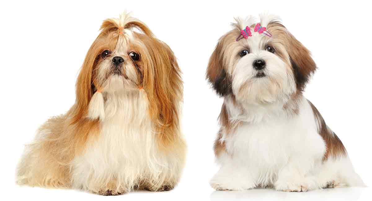 Lhasa Apso Vs Shih Tzu Can You Spot The Difference