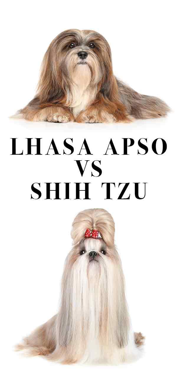 lhasa apso vs shih tzu