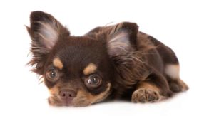 Long Haired Chihuahua – Care, Information and Fun Facts