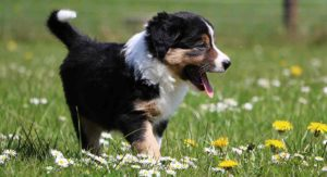 Mini Bernese Mountain Dog – A Downsized Version Of The Gentle Giant