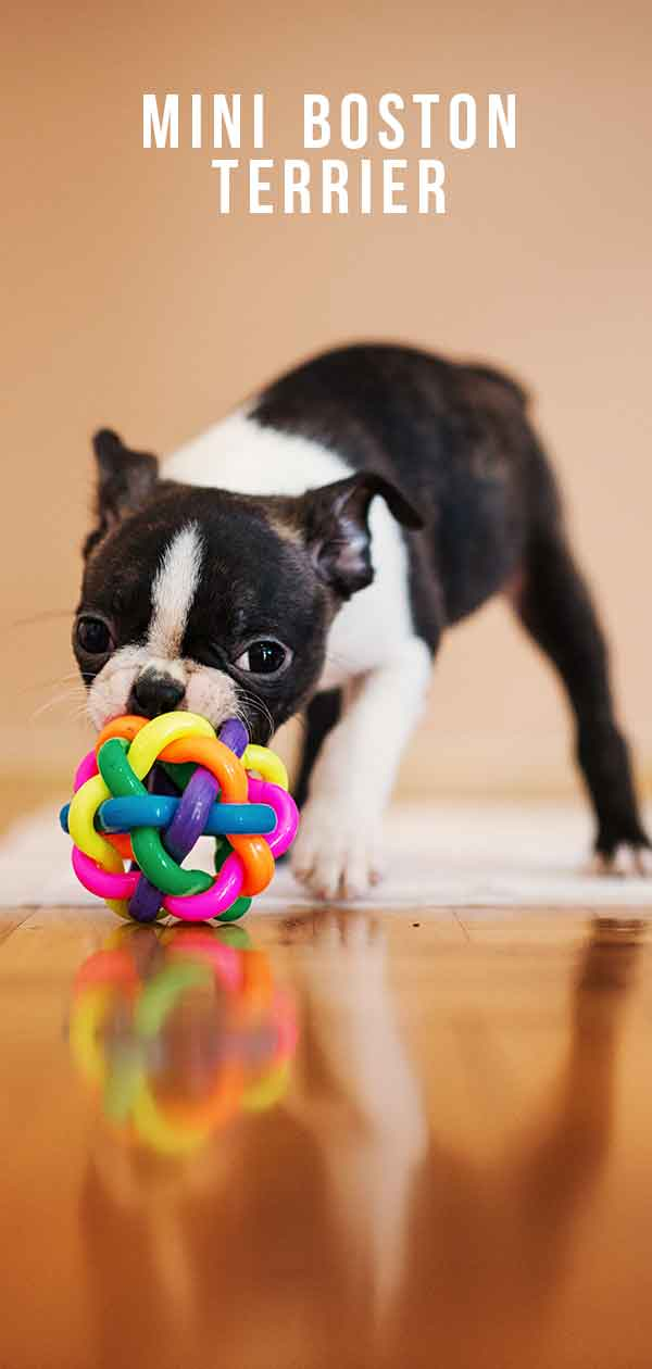 Mini Boston Terrier - Is This Cute Dog Right For You?