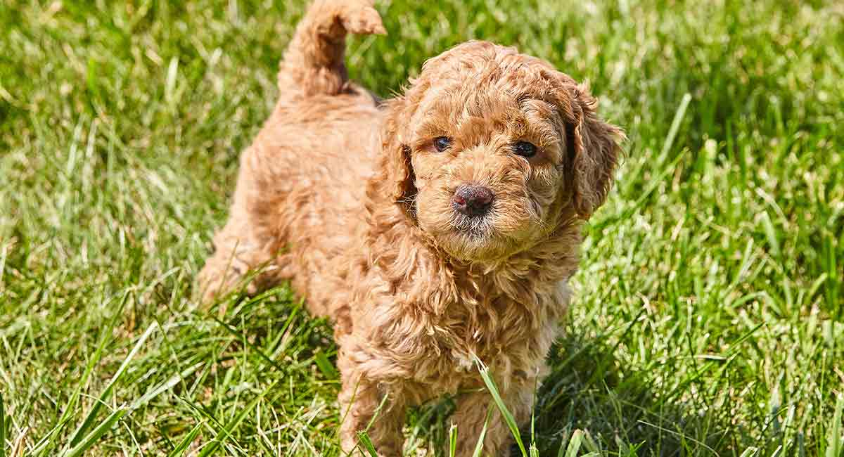 Mini Goldendoodle Mix Breed Information - Golden Retriever