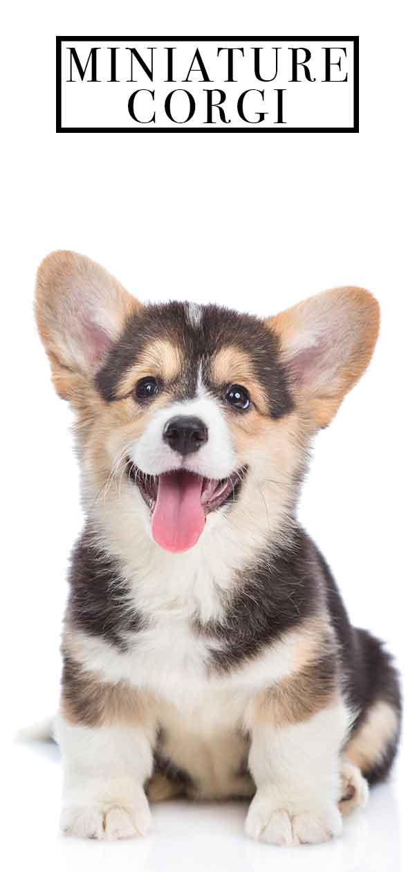 Miniature Corgi Can Your Favorite Dog Come In An Even Tinier Package