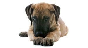 Miniature Great Dane – Is There Really Such A Thing?
