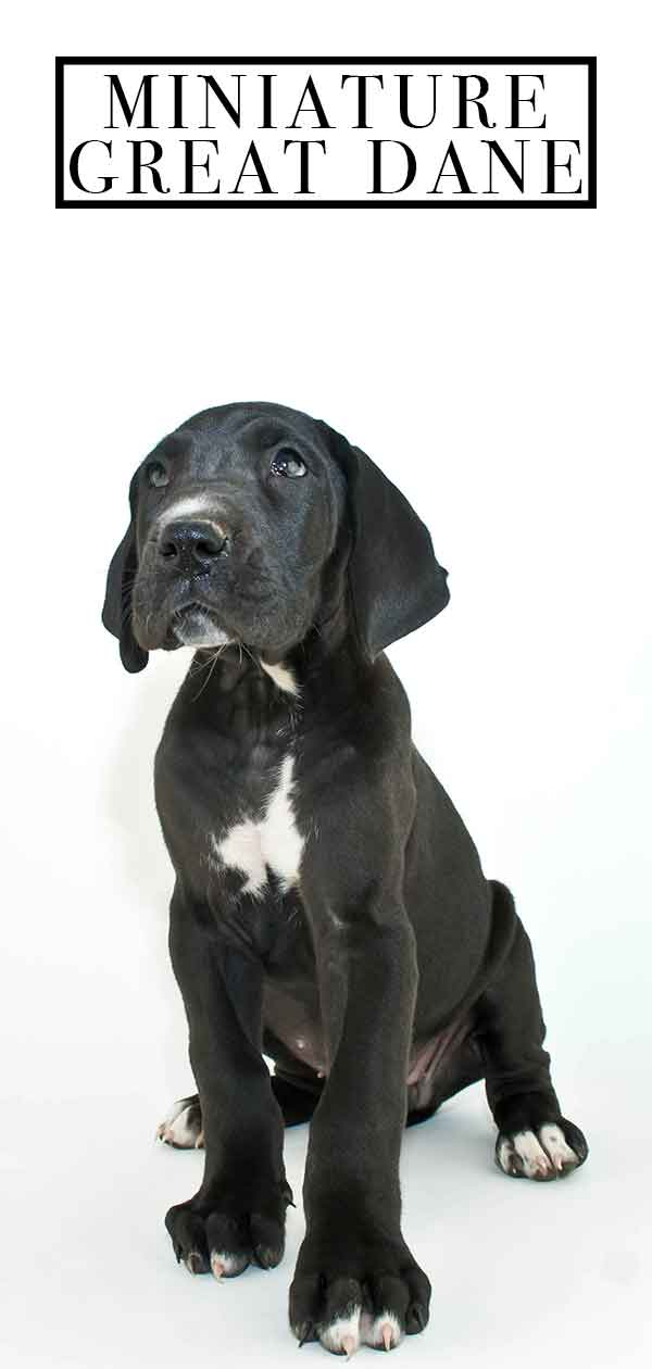 Miniature Great Dane Is There Really Such A Thing