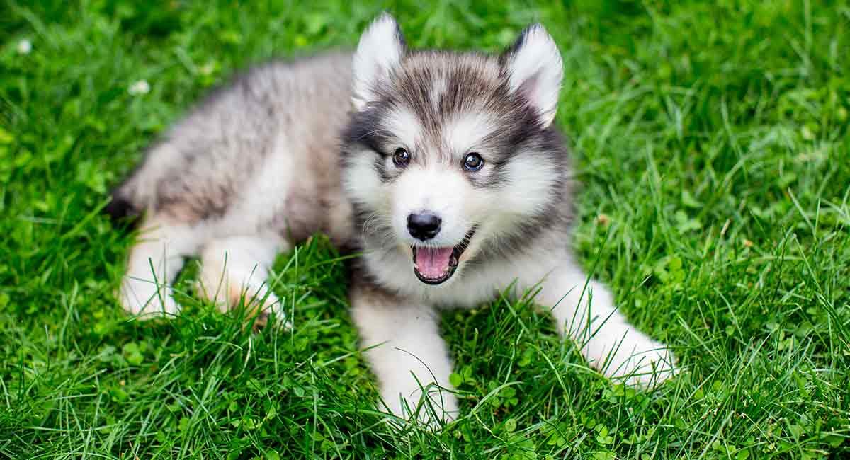 What is a miniature Husky?