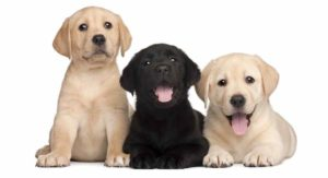 Miniature Labrador – Is This Mini Dog the Right One for You?