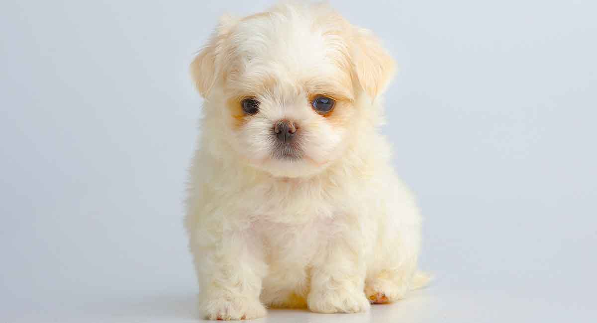 teacup maltese is this mini maltese the perfect choice