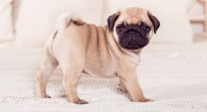 Miniature Pug – Great Pet or Best Avoided?