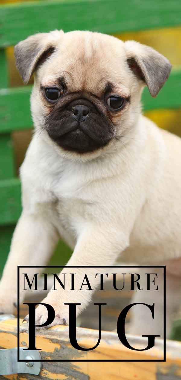 Miniature Pug – Could This Be the Chug You Always Wanted?