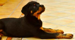 Miniature Rottweiler – The Smallest Guard Dog?