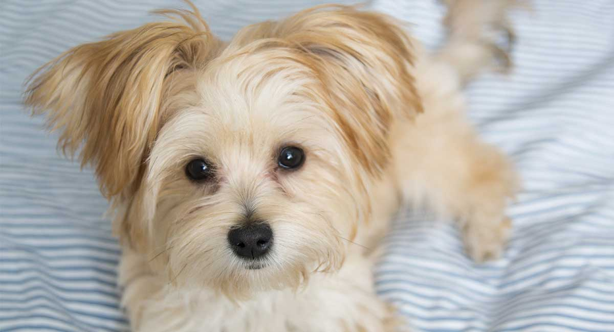 Morkie - The Maltese Yorkshire Terrier Mix