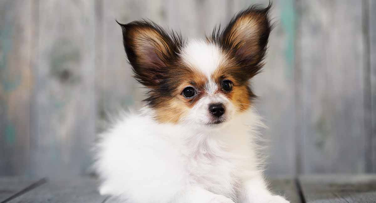 Looking for the perfect Papillon names?