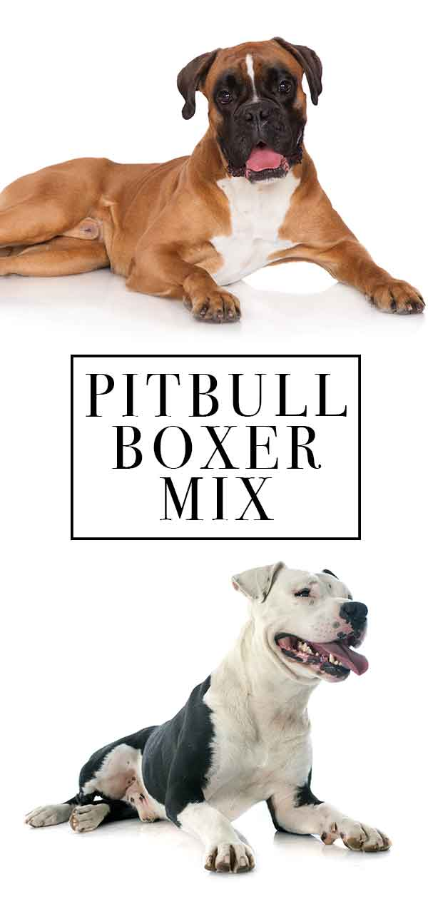 Pitbull Boxer Mix