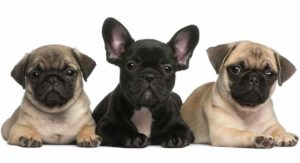Pug vs French Bulldog – Which One Makes the Best Pet?