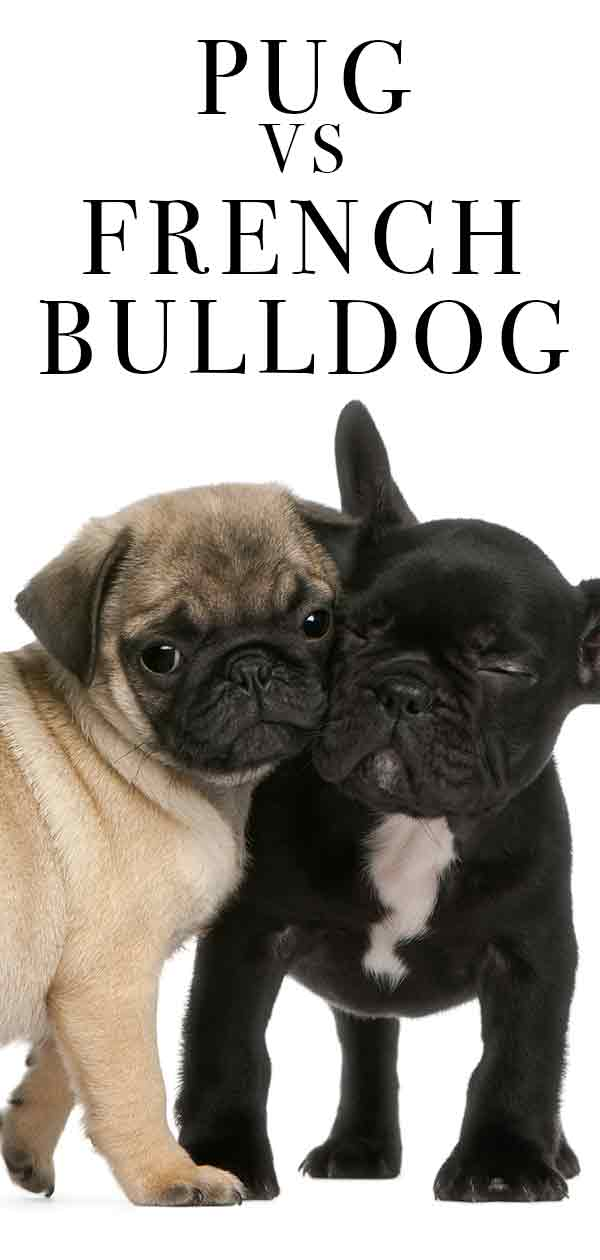 pug vs french bulldog