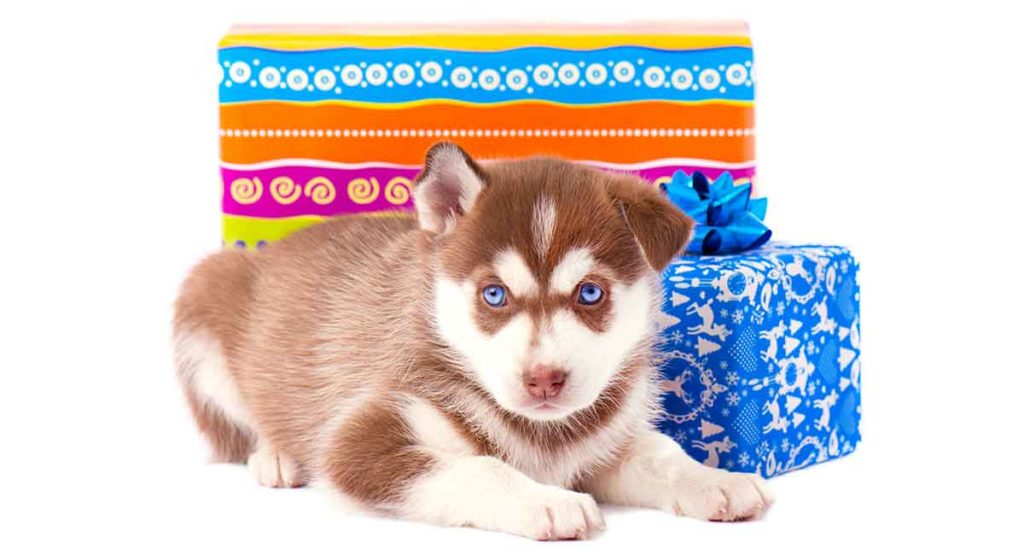Your Red Husky Guide Is This The Right Puppy For Your Family