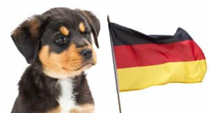 Rottweiler History – Where Do Rottweilers Come From?