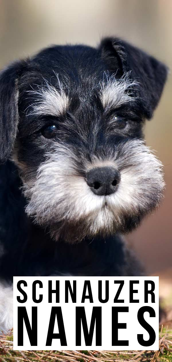 Amazing Schnauzer Names - Dozens Of Awesome Ideas For Your Pup