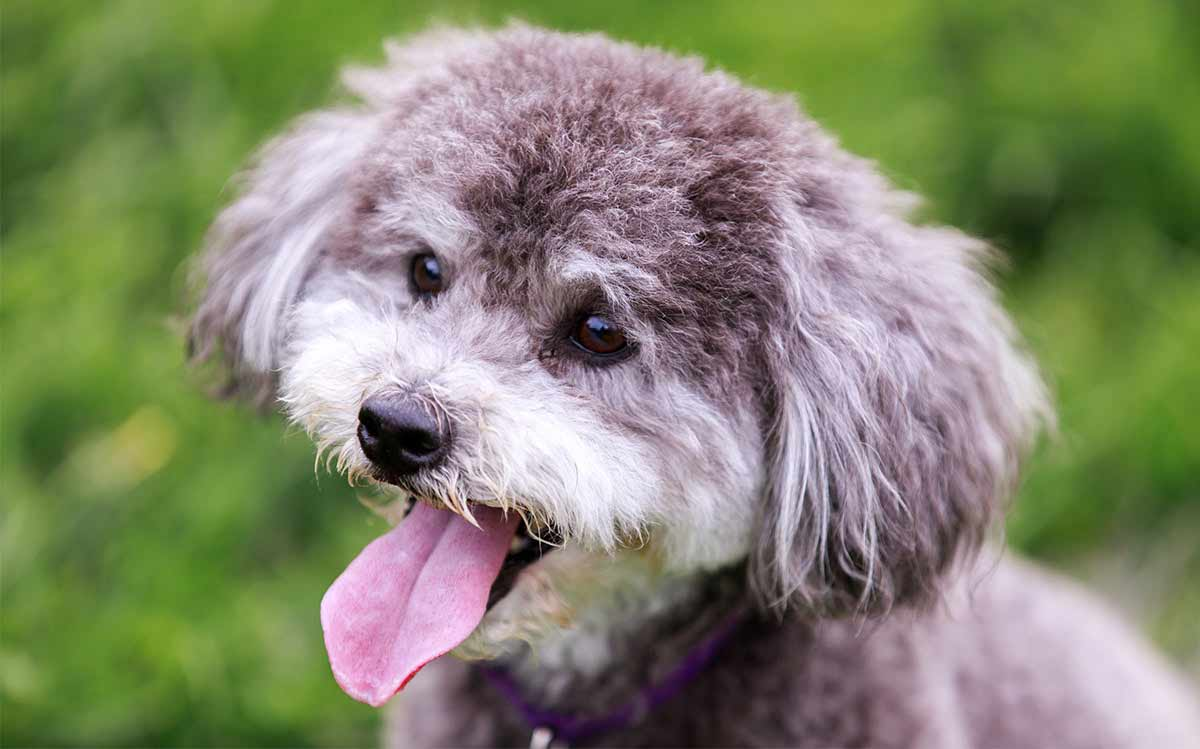 schnoodle - small poodle mixes